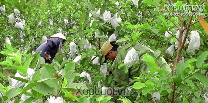 Nhà vườn sử dụng xốp lưới để bao trái cây